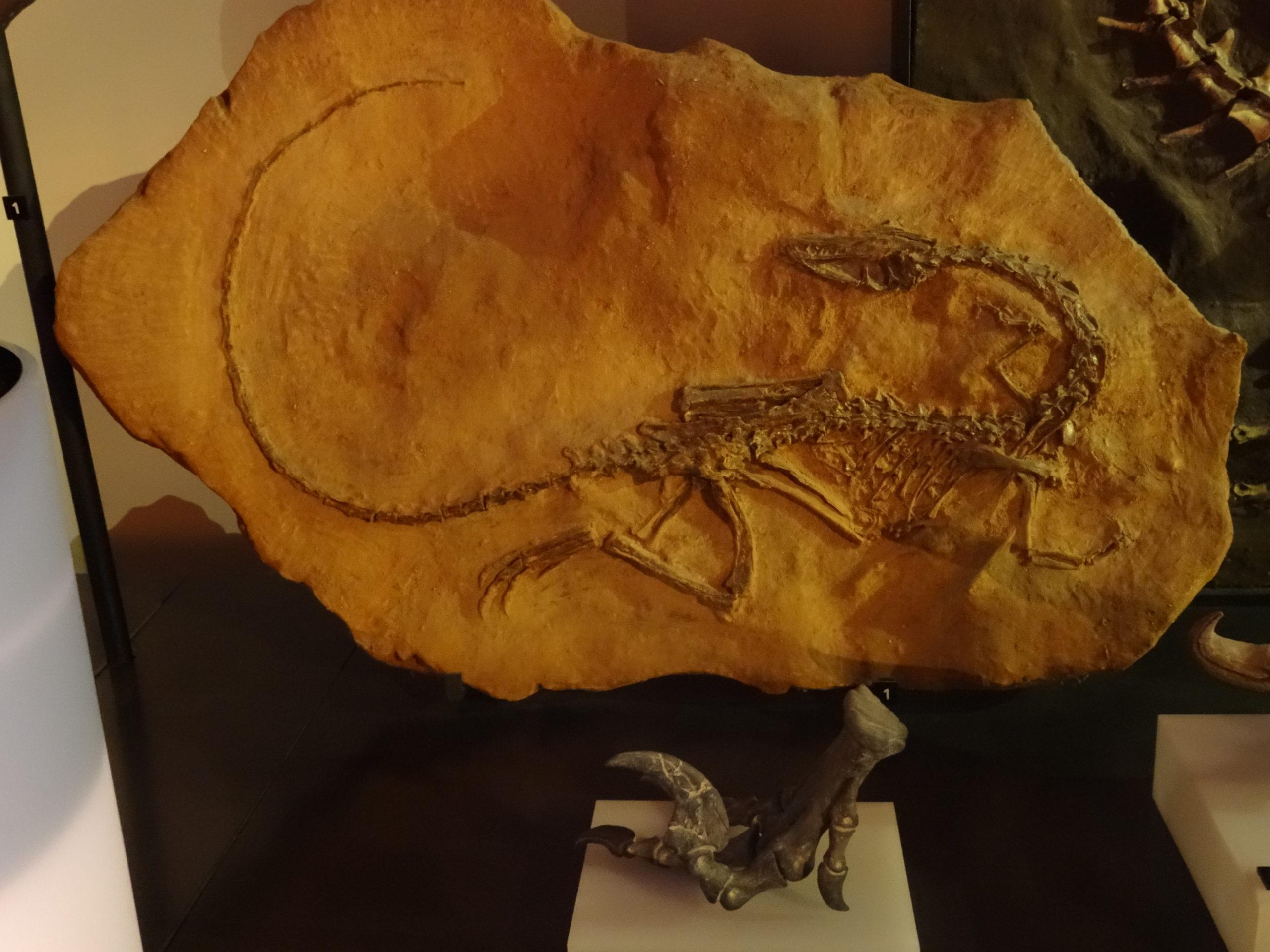 coelophysis bauri fossile